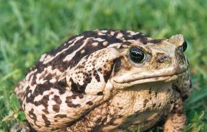 Cane-toad